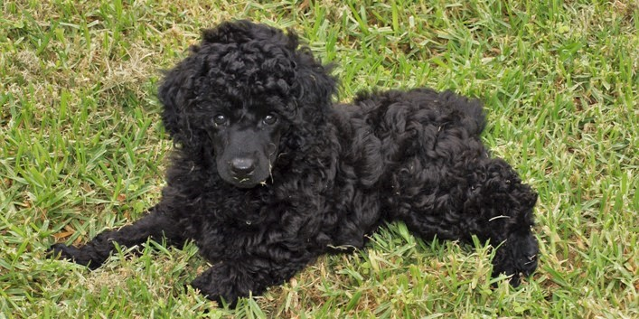 A black male puppy