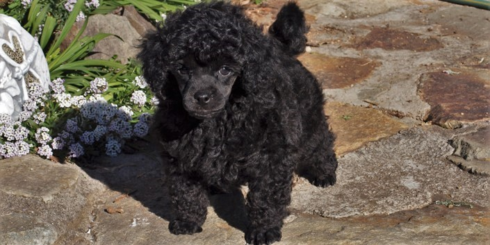 A small black male puppy